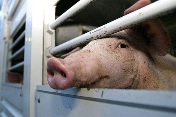 В новом очаге АЧС в Самарской области изымают свиней   CityTraffic
