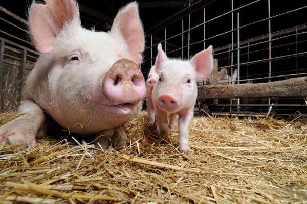 В Самарской области выделили еще 2,7 млн рублей на компенсации фермерам за изъятых свиней | CityTraffic
