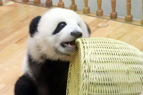 Панда Блинчик Чэнду решил съесть свой бамбуковый домик: видео | CityTraffic