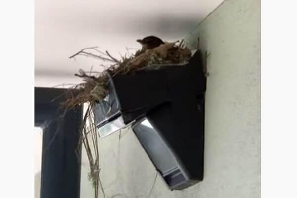 Женщина спасла дрозда от провала, построив ему гнездо над дверью своего офиса: видео | CityTraffic