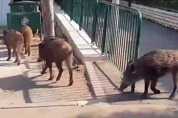 Жители Самары встретили стадо диких кабанов прямо в городе | CityTraffic