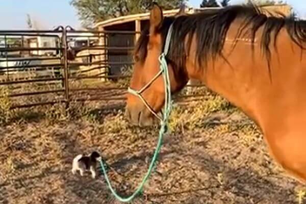Крохотный щенок ведет дикого мустанга гулять: видео | CityTraffic