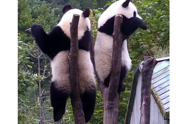 Панда напомнила другу о социальной дистанции: видео | CityTraffic