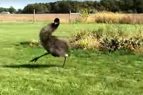 Уморительный танец страуса, который приглашает воду поиграть, попал на видео | CityTraffic