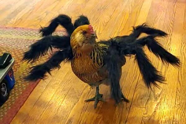 Курица по имени Гриб шокировала кота своим костюмом кХеллоуину: видео