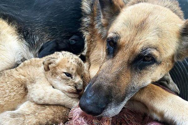 Овчарка спасла двух львят, брошенных матерью: видео | CityTraffic