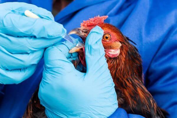Из-за птичьего гриппа уничтожили 670 кур, уток и голубей в селе Самарской области | CityTraffic