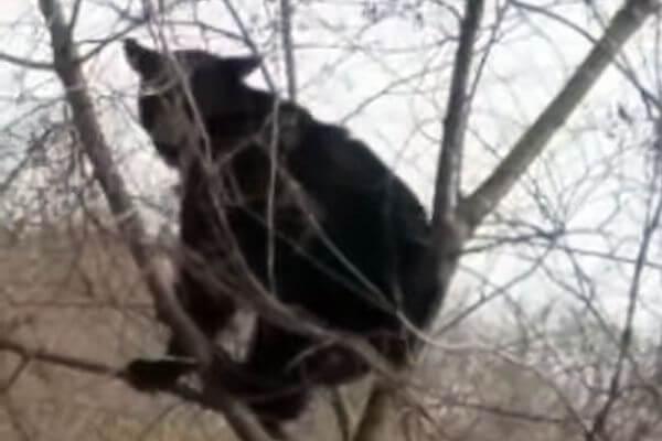Медведь залез на дерево, чтобы почесать ягодицы: видео | CityTraffic