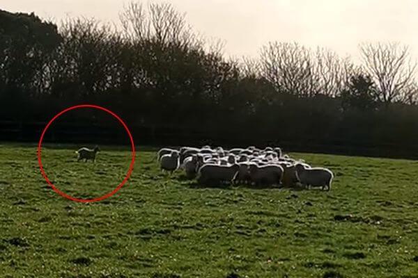 Козел вообразил себя пастушьей собакой и пошел гонять овец: видео | CityTraffic