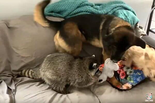 Енот и овчарка не могут поделить игрушку: видео | CityTraffic