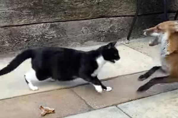 Кошка и лисица не поделили еду: видео | CityTraffic