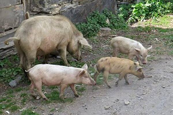 За свинское отношение к свиньям жителю Самарской области запретили заниматься их содержанием | CityTraffic