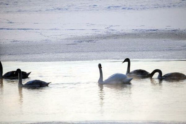 Лебедей из Сызрани готов принять зоопарк в Самаре | CityTraffic