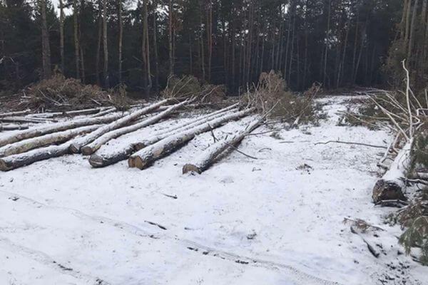 В Самарской области бизнесмен незаконно вырубил 94 сосны | CityTraffic