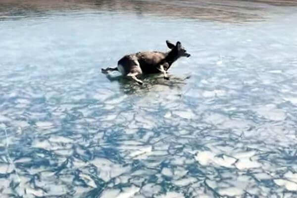 Рыбаки спасли оленя, который не мог выбраться со льда озера | CityTraffic