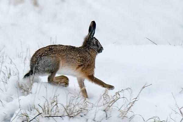 В Самарской области за 4 года стало почти в 2 раза больше зайцев русаков | CityTraffic