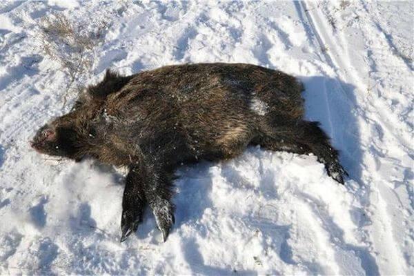 Три браконьера убили двух кабанов в Самарской области | CityTraffic