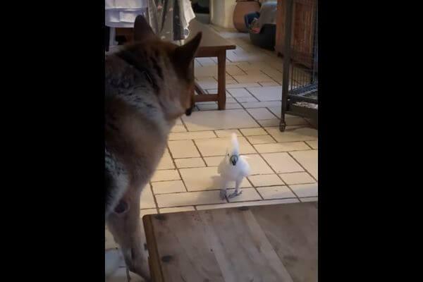Попугай показал собаке, как лают настоящие псы