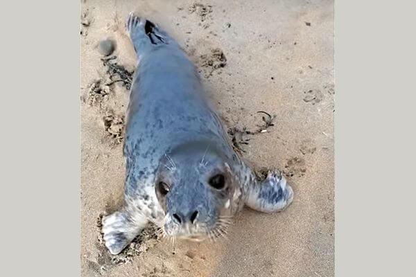 Тюлененок выскочил из океана на берег, чтобы поздороваться с человеком | CityTraffic