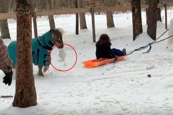Мини-лошадь украла удевочки шапку иумчалась довольная собой