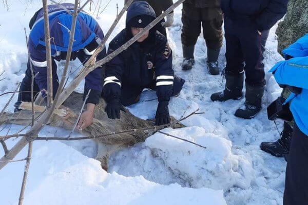 В Самарской области спасли косулю, которая поранила ноги о замерзший снег | CityTraffic