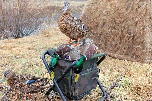 Подсадные утки охотников Самарской области не должны иметь документов | CityTraffic