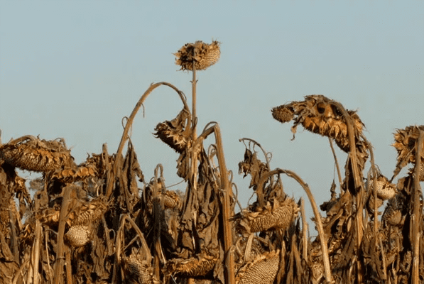 В Самарской области агрохолдинг получил более 300 млн рублей за гибель урожая из-за засухи | CityTraffic