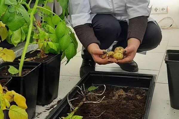 Самарские ученые вместе с аграриями вывели новый сорт картофеля | CityTraffic