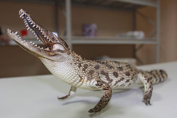 Чучело сиамского крокодила, которое таможенники изъяли в аэропорту Самары, стало экспонатом музея | CityTraffic