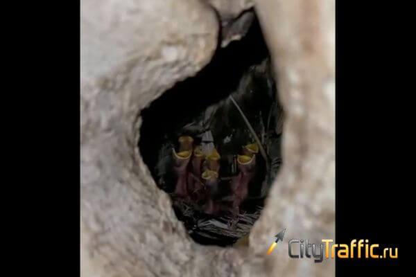 Птенцы скворца приняли жителя Тольятти за мать и стали требовать еду | CityTraffic