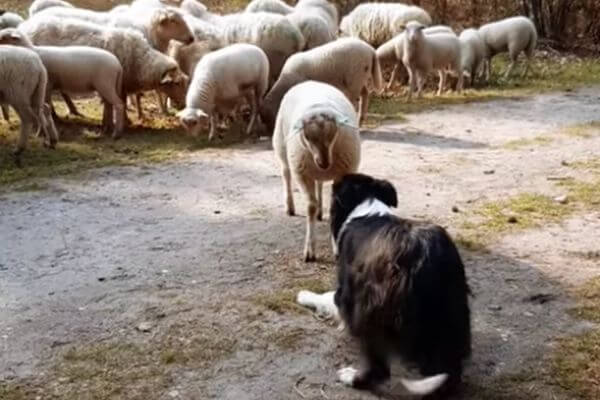 Маленький баран осознал, что он личность, и устроил бунт против пастушьего пса | CityTraffic
