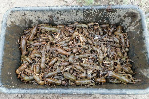 В речпорту Сызрани задержали браконьера, который поймал 632 рака | CityTraffic