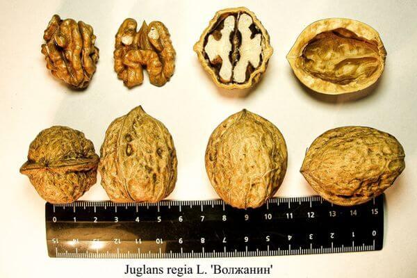 Биологи из Самары вывели новые сорта грецкого ореха, которые можно колоть, сжимая в руке | CityTraffic