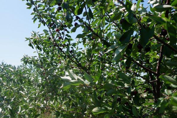 В Самарской области вывели первые сорта черешни, назвав их Нюша и Олечка   CityTraffic